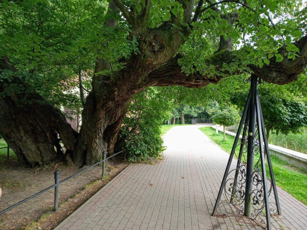 памятник природы липа светлогорск на берегу озера тихое 450 лет